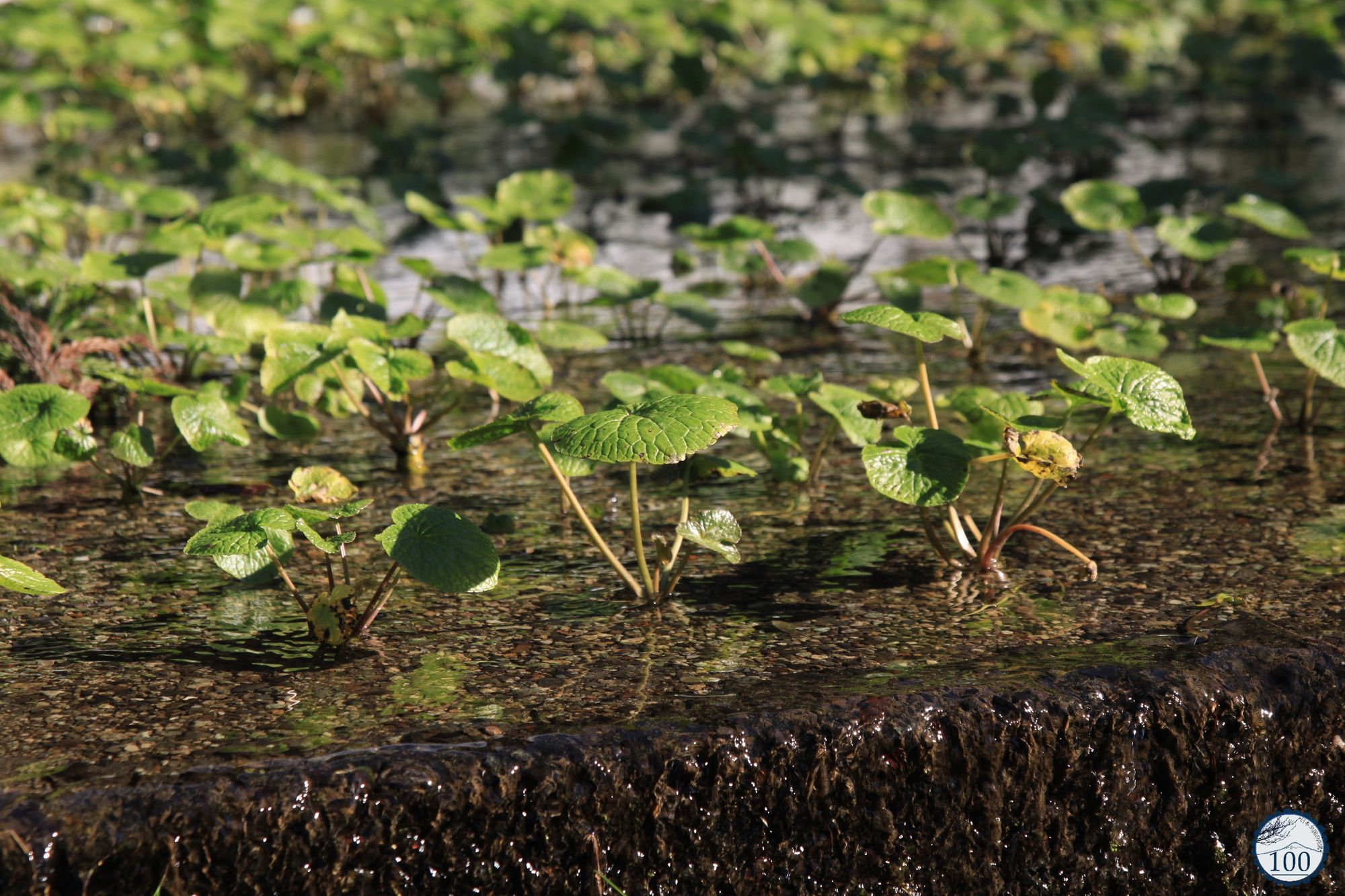 Aux racines du wasabi authentique utogi nippon100 for Plante wasabi