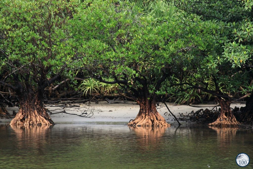 Mangroves use their roots as filter to get fresh water