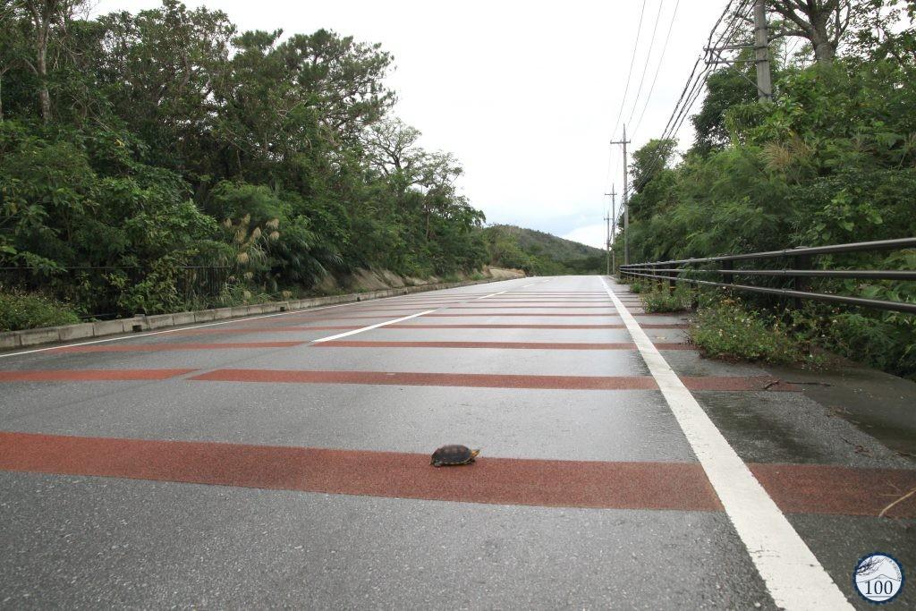 Cuora flavomarginata or yellow-margined box turtle