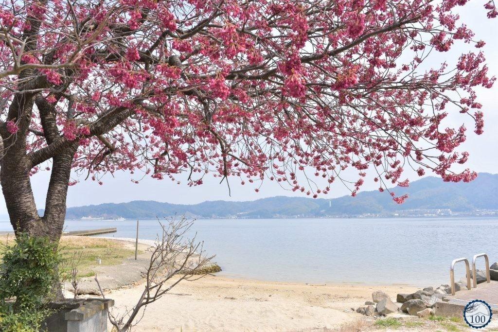 First cherry blossom in Amanohashidate.