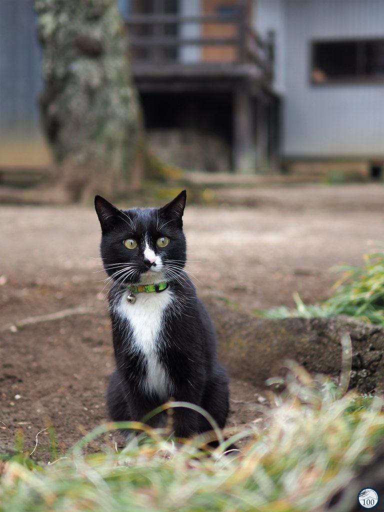 Le chat du temple au Yamataka Jindai Zakura - Yamanashi